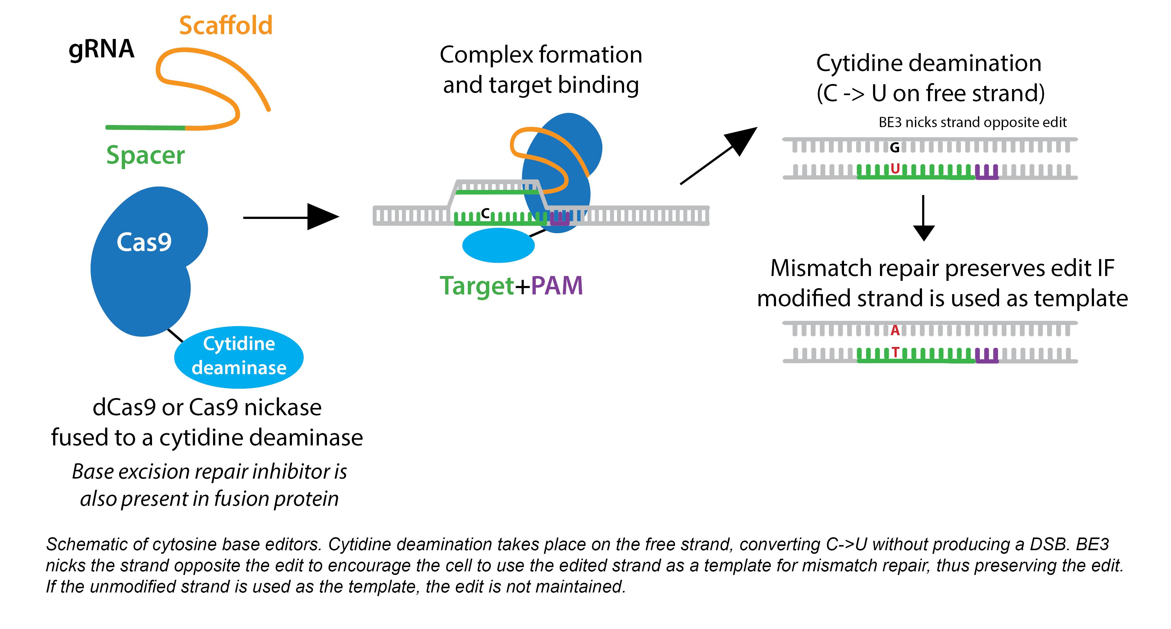 CRISPR-base edit-horizontal-caption.png