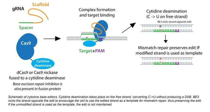 schematic of cytosine base editors