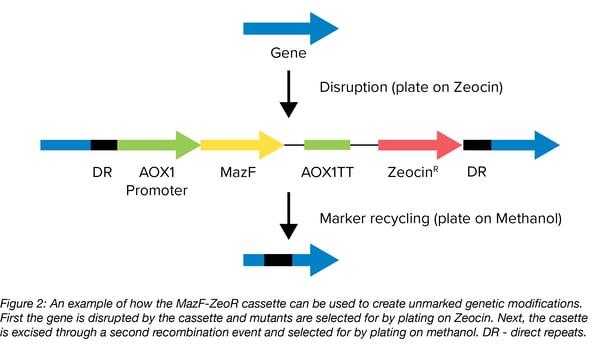 MazF plasmid addiction