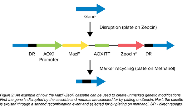 MazF plasmid addiction