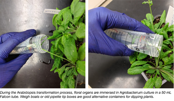 Arabidopsis Tranformation