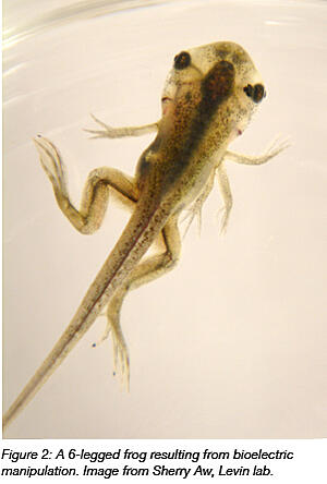 Six legged frog resulting from bioelectric manipulation