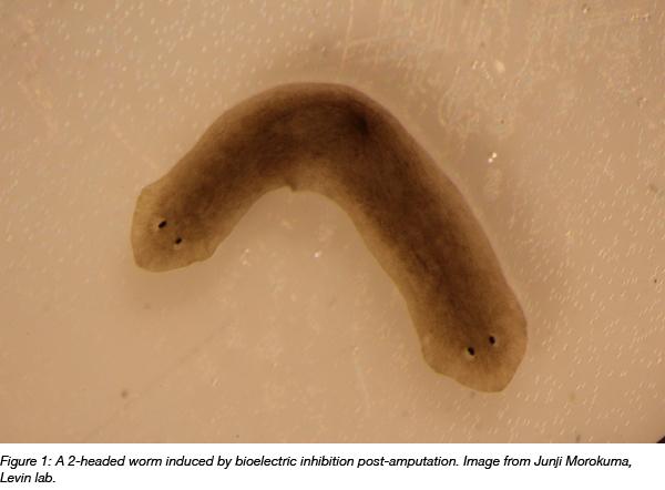 Two headed worm induced by bioelectric signal