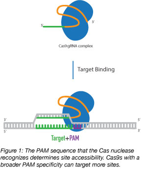Cas9 target accessibility depends on the PAM sequence the Cas protein recognizes