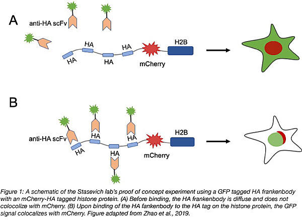 Schematic of HA frankenbody localization with protein