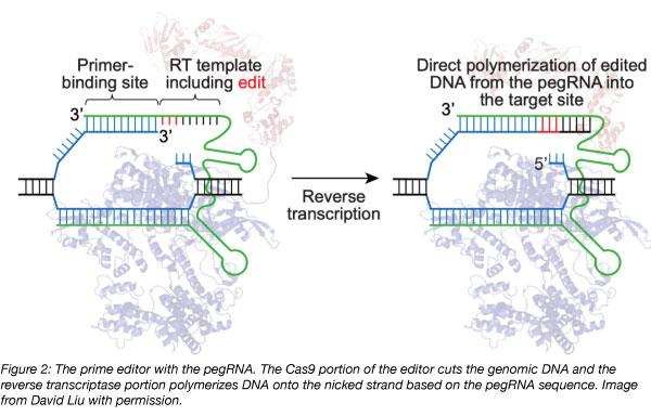 prime editor pegRNA complex