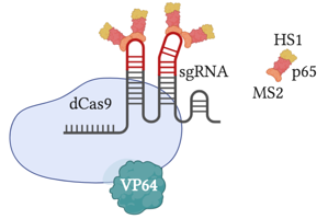 SAM is a dCas9-VP64 fusion that uses a gRNA with aptamers that bind MS2. MS2 recruits p65 and HS1