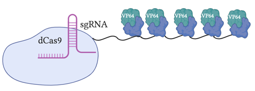 SunTag is a dCas9 fused to a repeated array of VP64. In this image is an array of five VP64 domtains. The sgRNA is also depicted.
