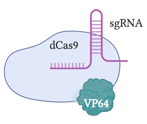 dCas9-VP64 binds a sgRNA.