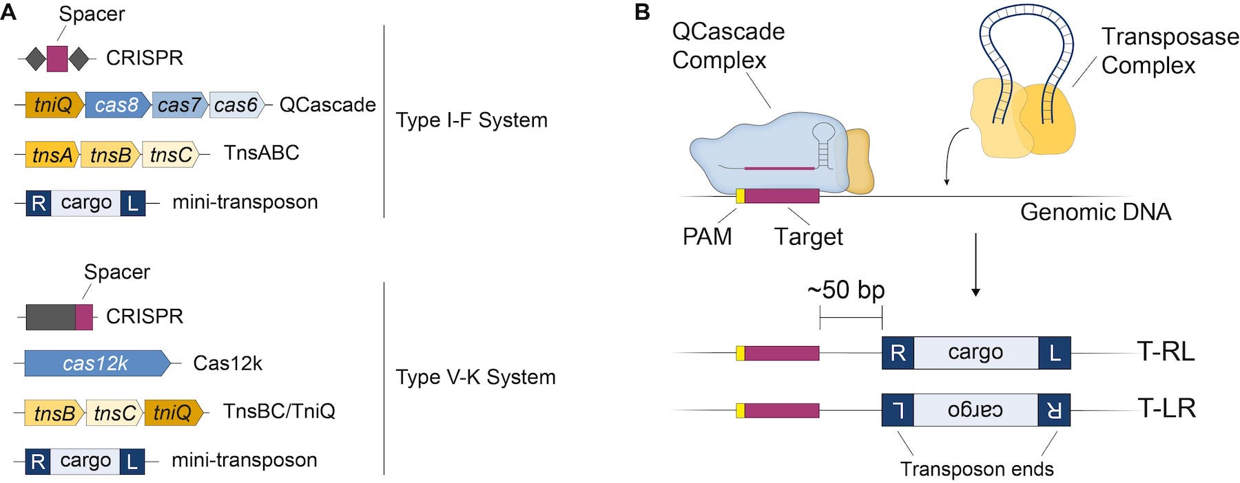 Left: components of the Type I-F system and Type V-K system. Right: The QCascade complex targets the target site while the transposase complex brings the donor DNA.