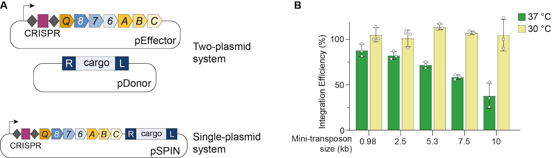 Left: the VchINT expression system is a one or two plasmid system that brings the CRISPR array, CRISPR proteins, transposase proteins, and donor cargo. Right: Integration efficiency remains ~100% at 30C for mini transposons up to 10 kb while at 37C, integration efficiency decreases with increased mini-transposon size.