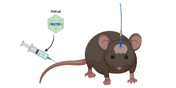 Channelrhodopsin delivery by intravenous injection. A fiber-optic cable allows blue light to reach the mouse brain.