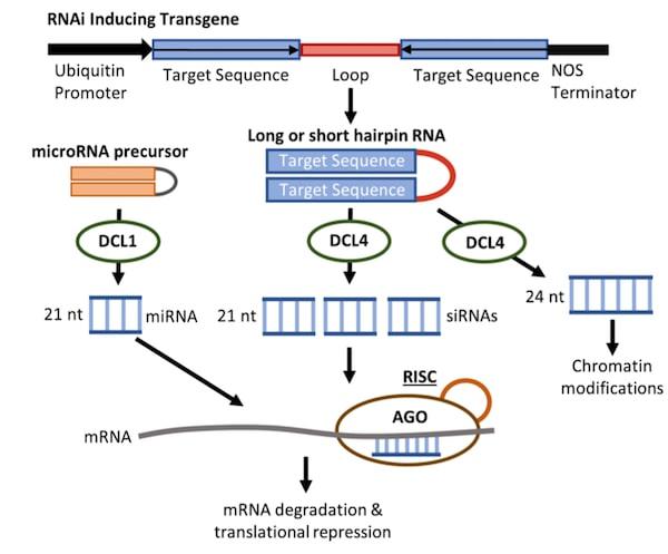 RNA-i-schematic