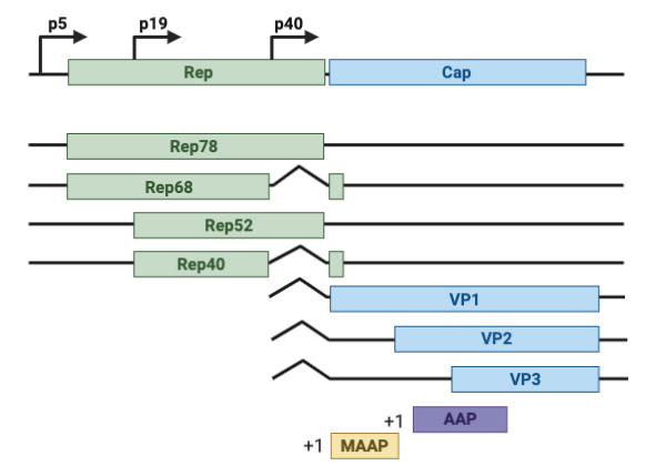 The RepCap plasmid consists of three promoters within the rep coding region that encodes four different Rep proteins. This region also encodes three different VP proteins, the MAAP protein, and the AAP protein.