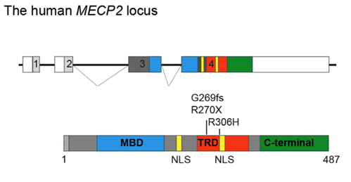 Schematic of the human MECP2 locus and MECP2 protein.