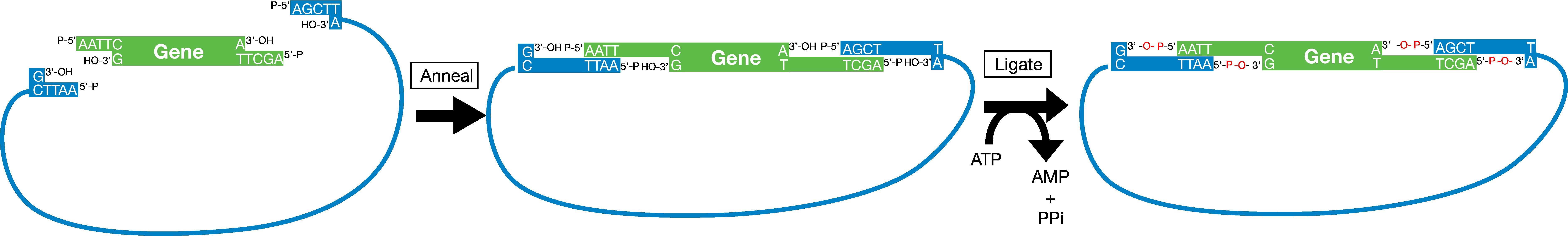 Ligation Process