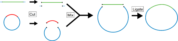 Restriction enzymes cut your insert and vector backbone. Then ligate to create your construct