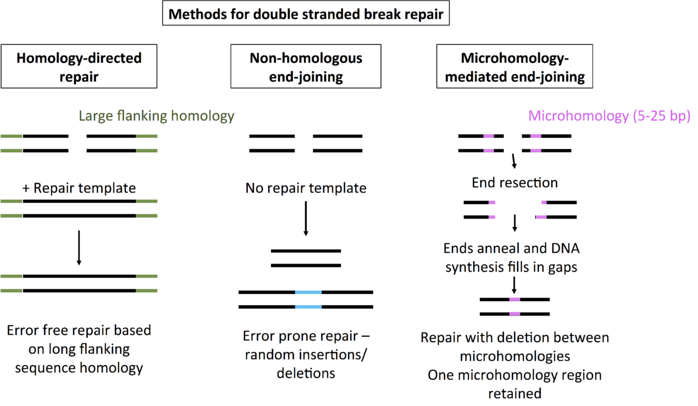 homology directed repair, non-homologous end-joining, and microhomology-mediated end-joining