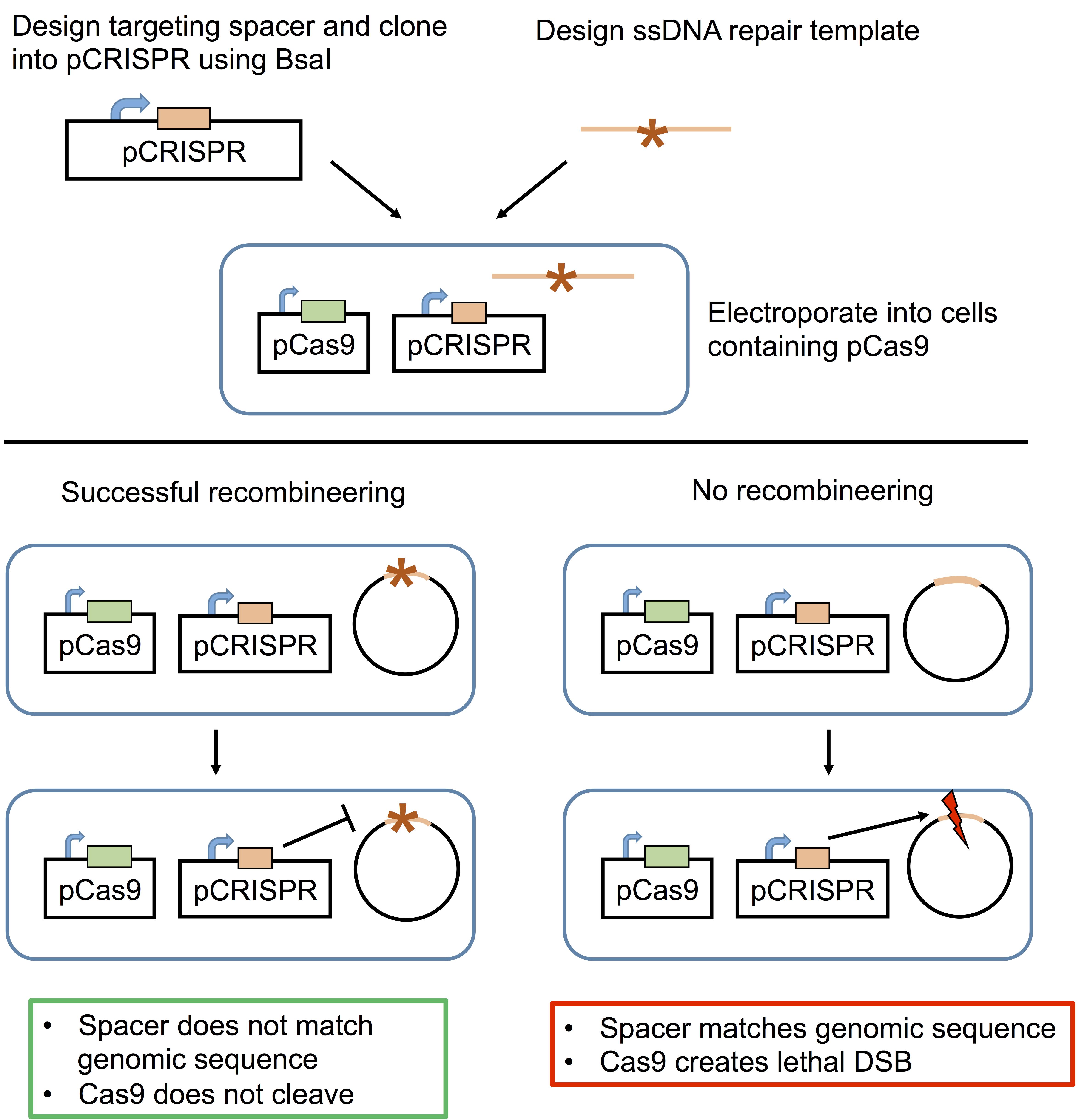 Bacterial_CRISPR_Schematic.png