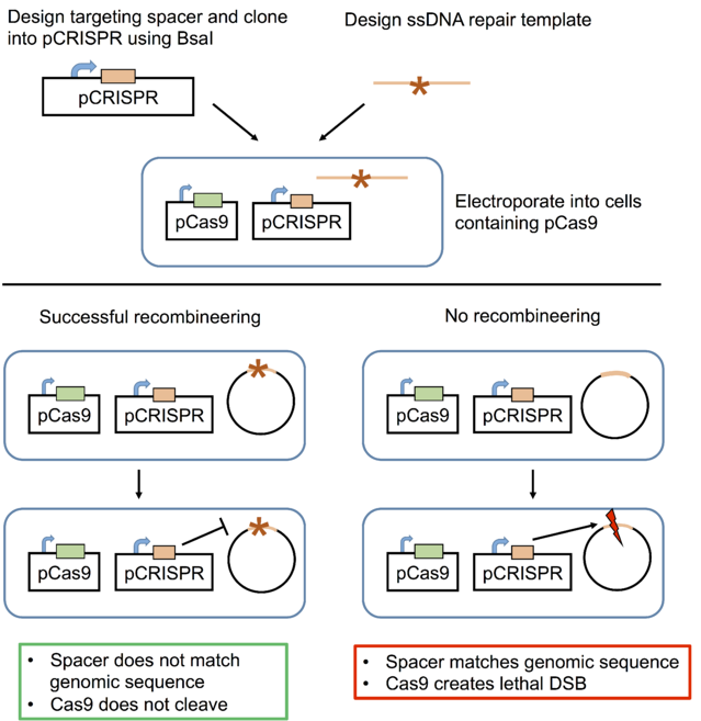 How to use CRISPR for bacterial genome engineering