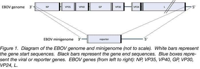 diagram of the Zaire evola virus genome and minigenome