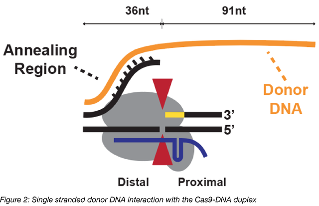 single stranded donor DNA interaction with the Cas9-DNA duplex