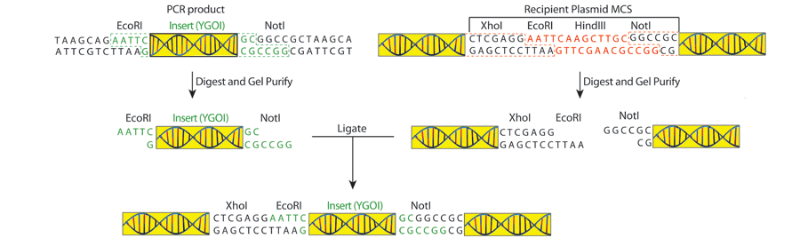 3_22_2016_Cloning_by_PCR_Fig3.png