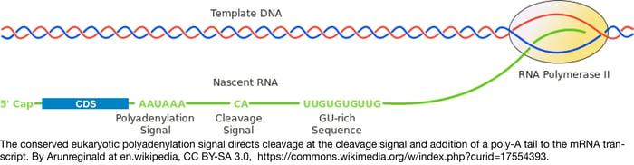 Eukaryotic termination figure