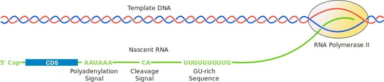 Conserved Polyadenylation Sequence