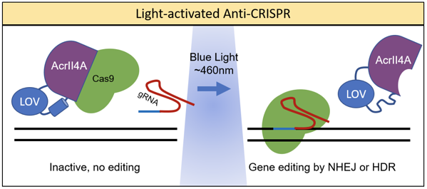 Light activated Anti-CRISPR proteins become active with blue light