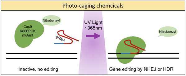 photo-caging chemicals are released from Cas9 with UV light. Then Cas9 becomes active
