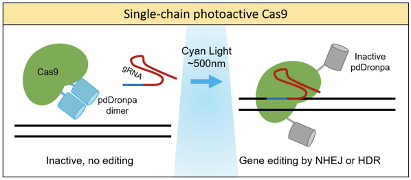 Single-chain photoactive Cas9 become active with cyan light