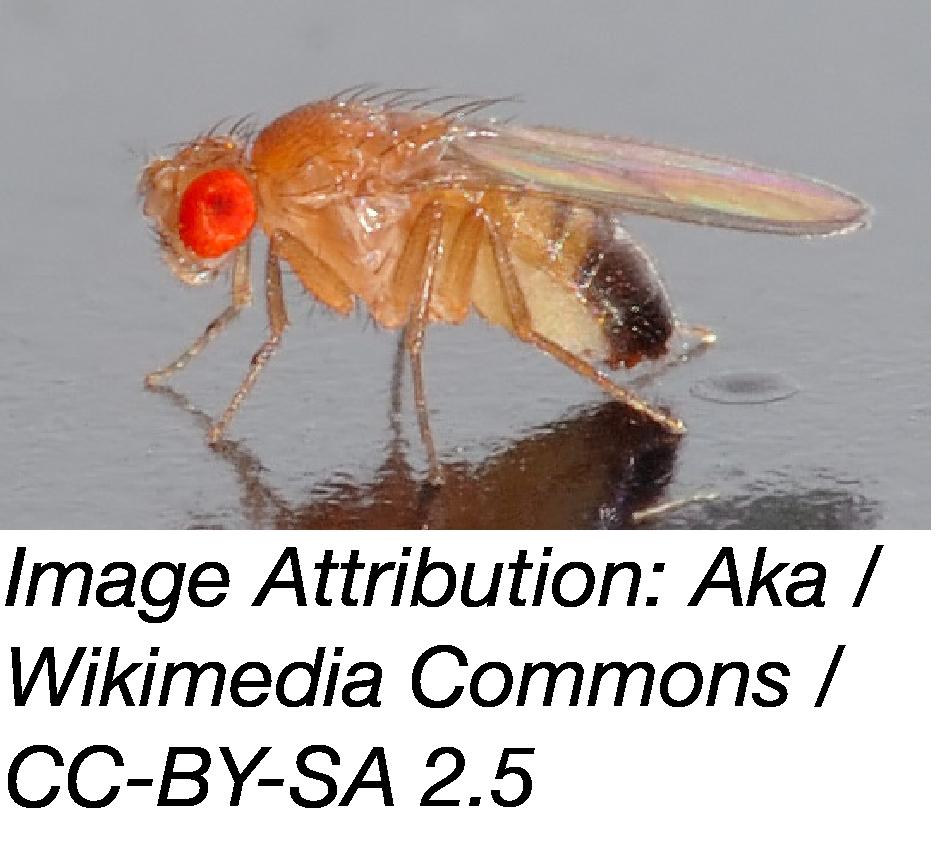 Drosophila photo
