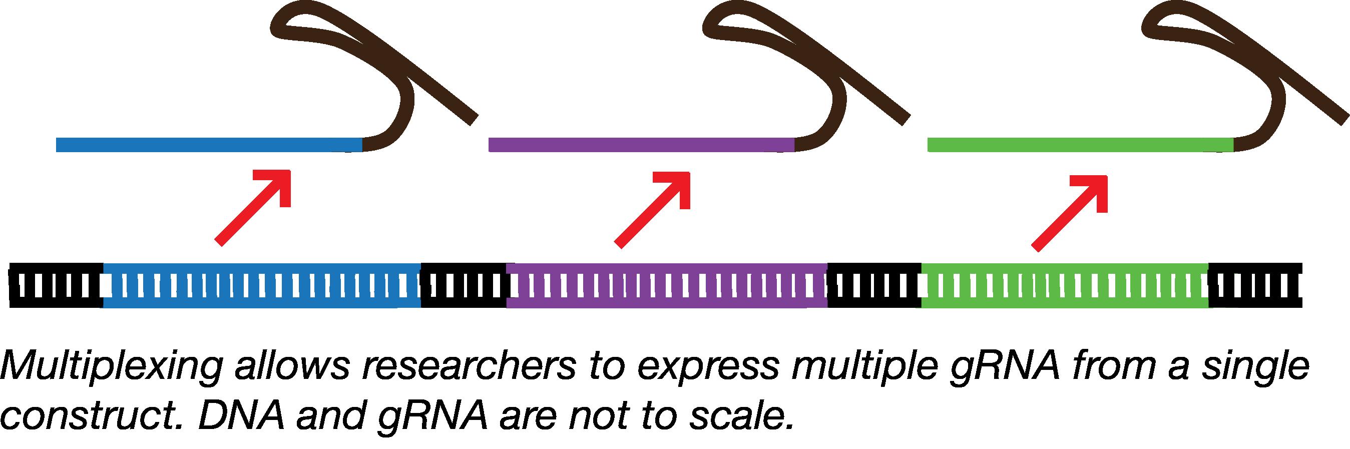 Multiplex gRNA