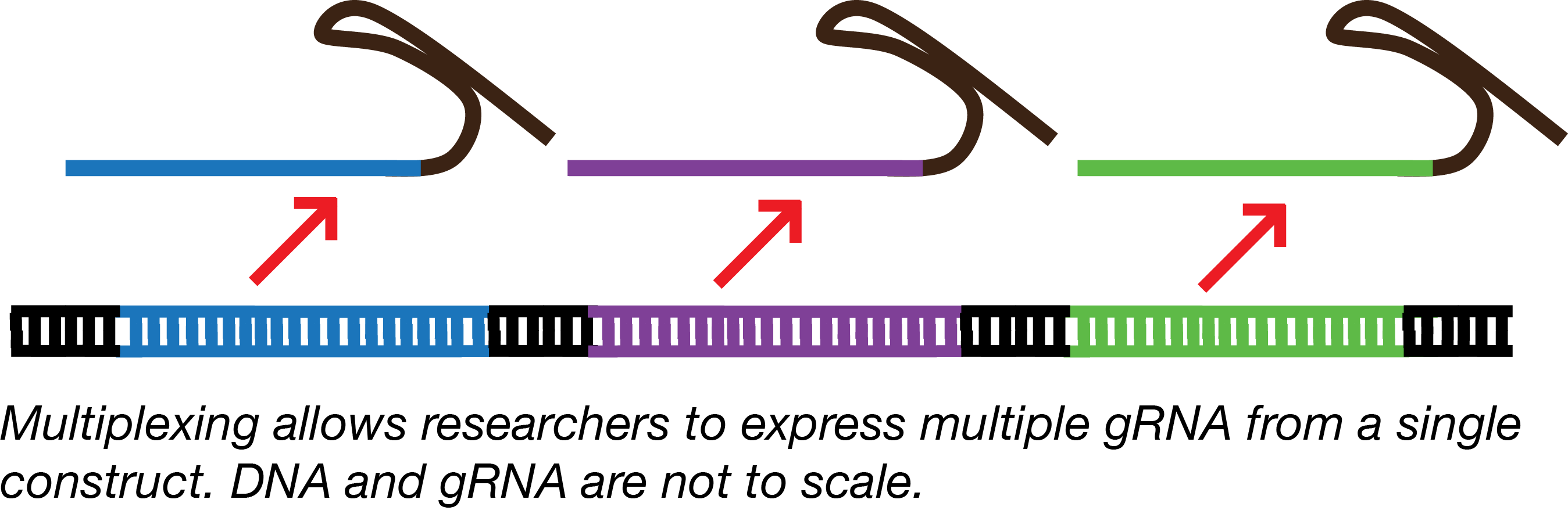 Multiplex gRNA means several gRNAs are expressed for a single construct