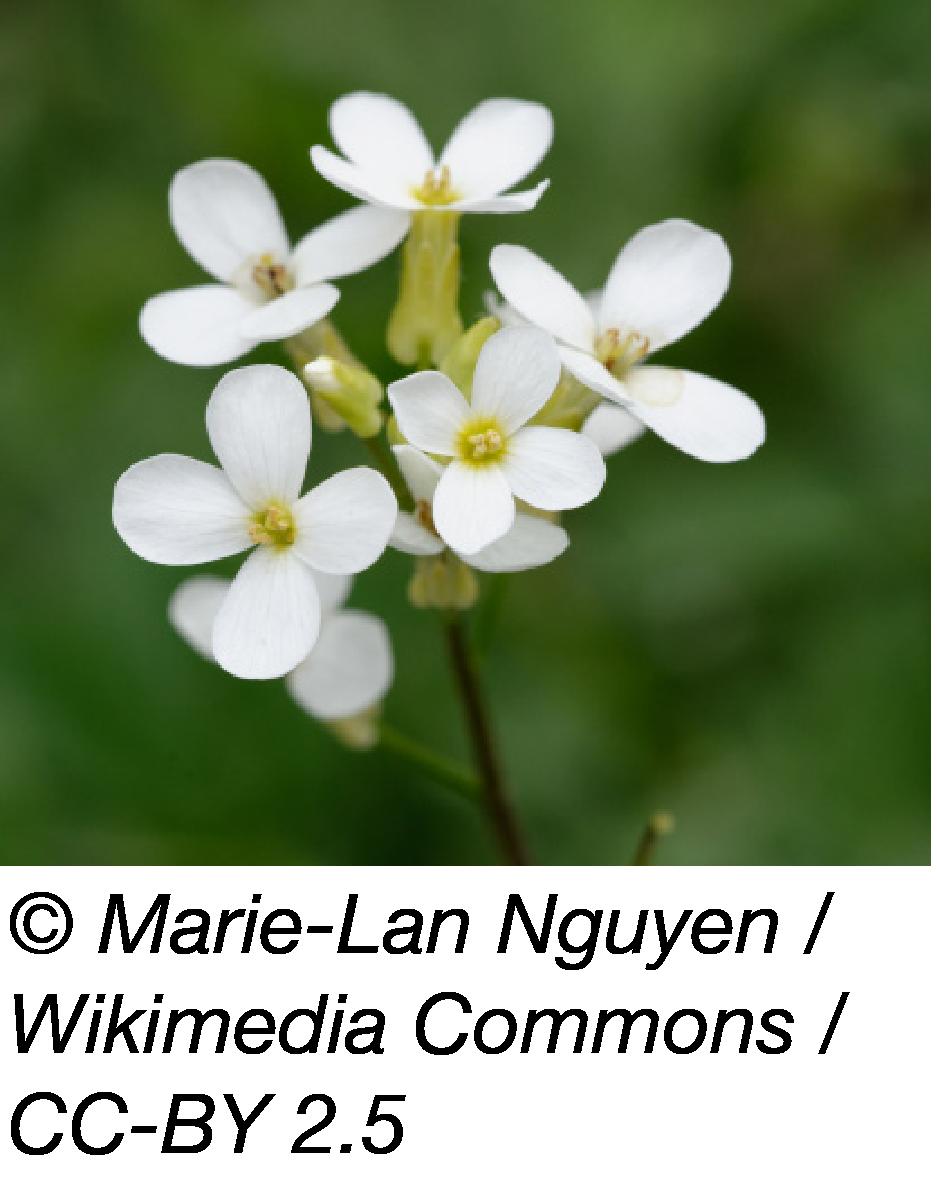 Arabidopsis photo