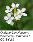 Arabidopsis photo