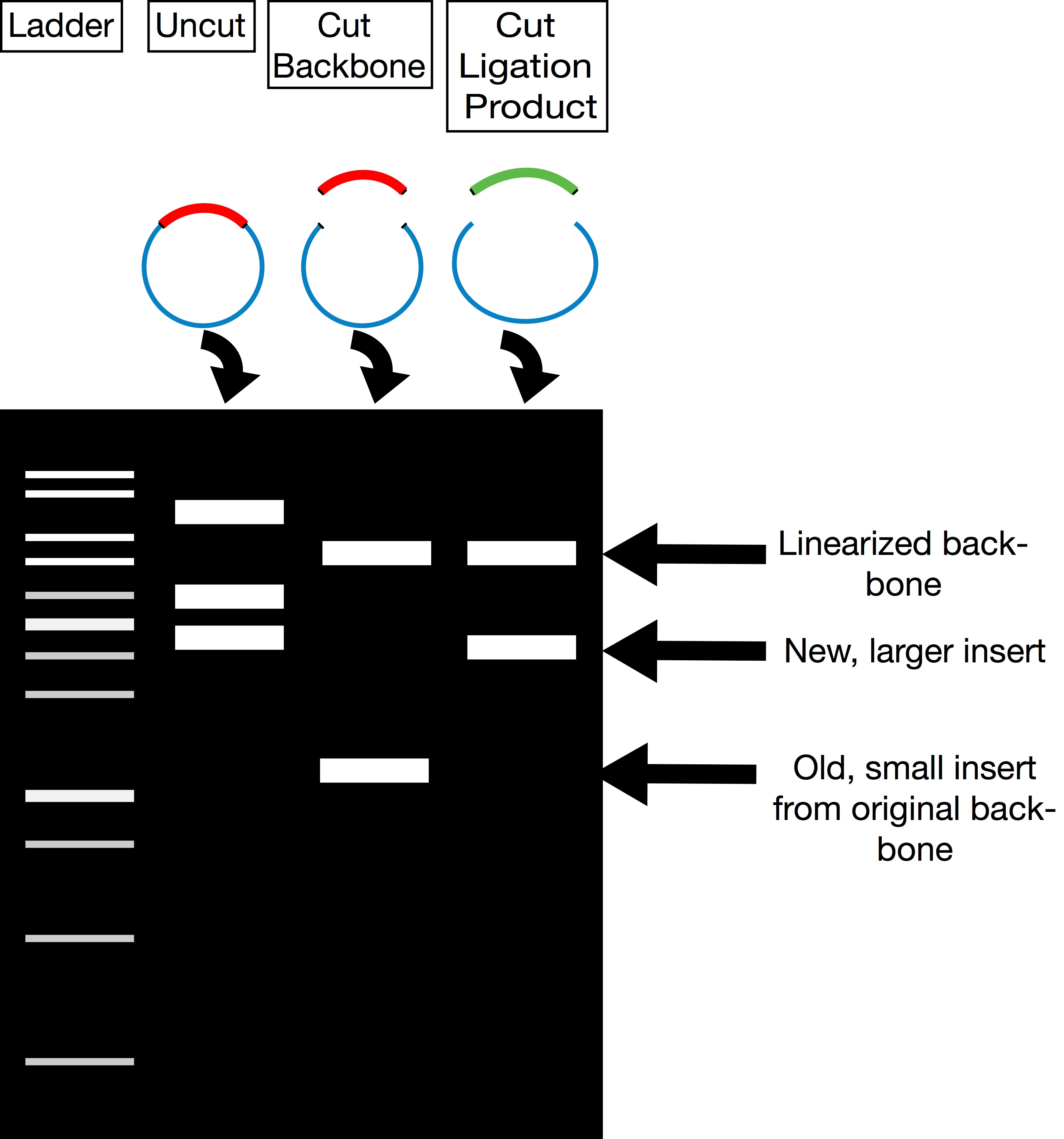 Plasmid verification by restriction digest