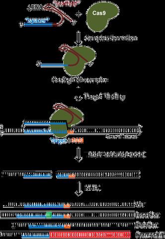 CRISPR Knockout generation