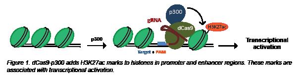 CRISPR acetylation
