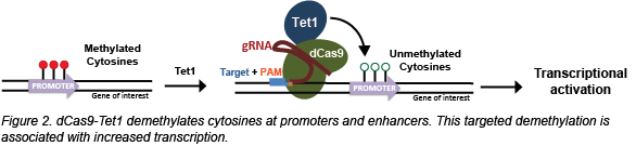 CRISPR-demethylation.png