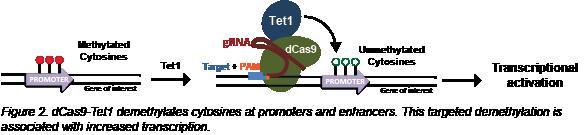 CRISPR demethylation