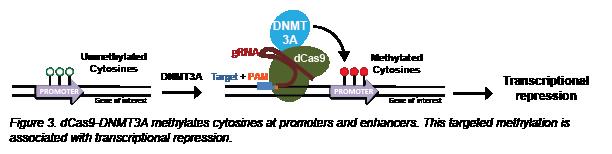 CRISPR methylation