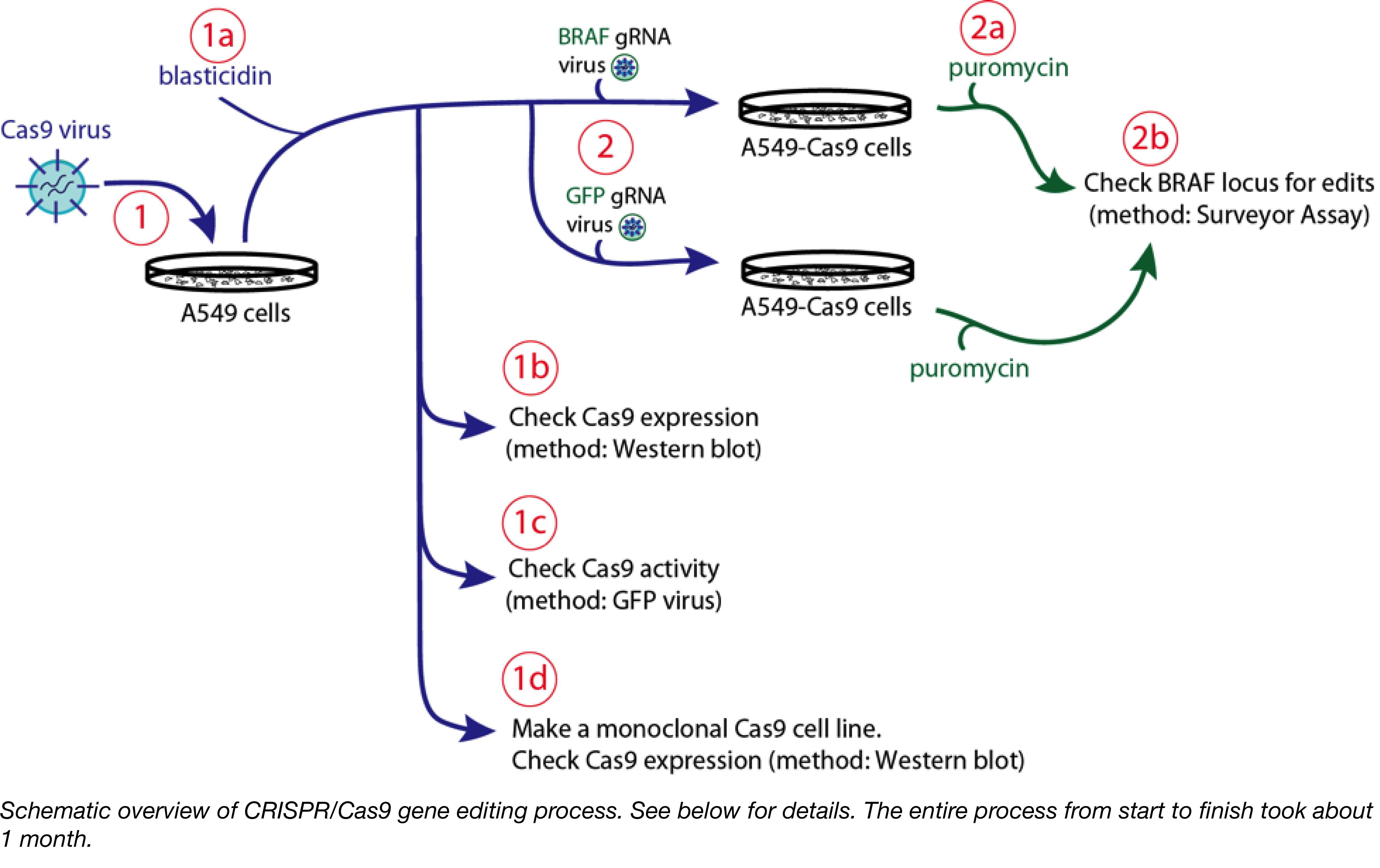CRISPR-Editing-Experiment-Schematic-captioned-01.png