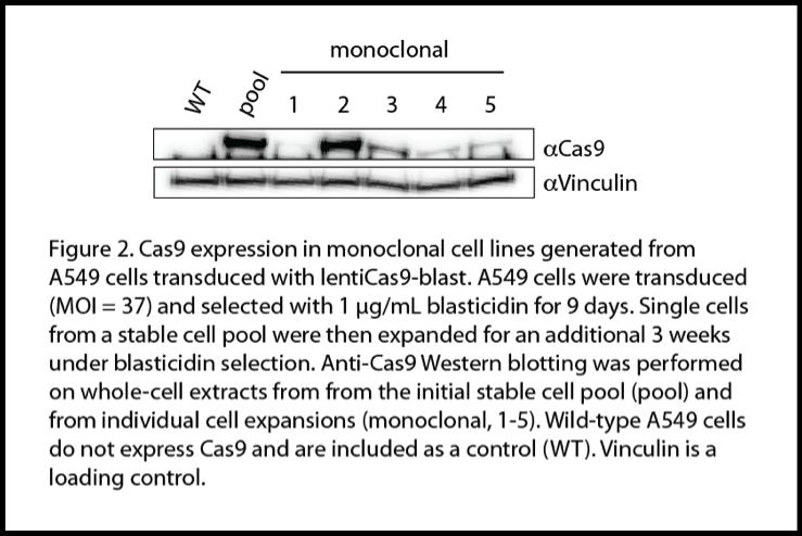 Cas9 Monoclonal Line Expression.png