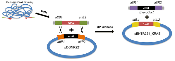 attB PCR