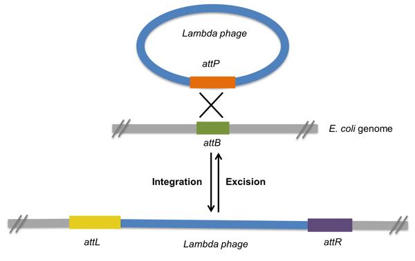 lambda phage integration and excision