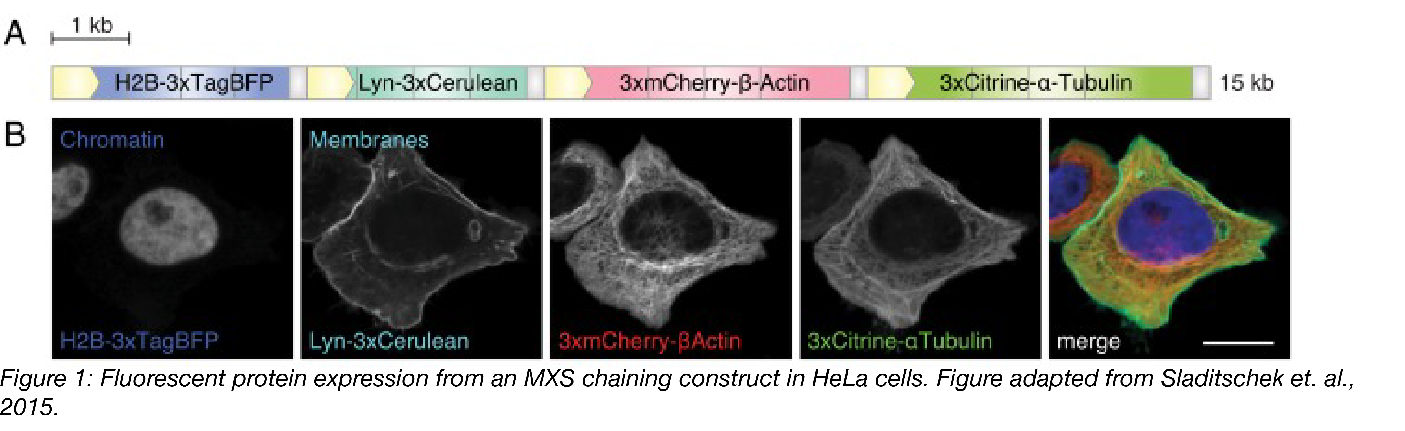 Figure 1 Fluorescent protein expression from MXS construct in HeLa Cells-01.png