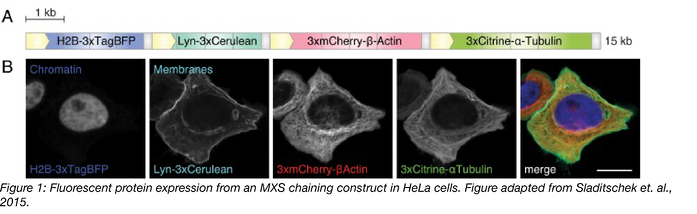 Figure 1 Fluorescent protein expression from MXS construct in HeLa Cells