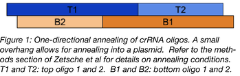 one-directional annealing of crRNA oligos